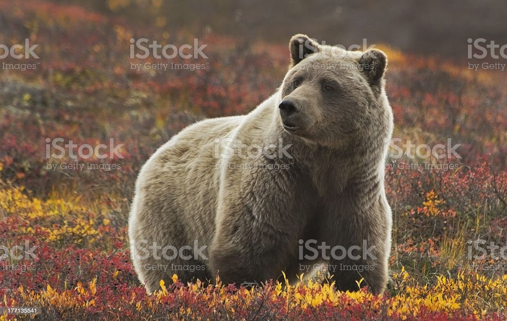 GrizzlySow stock photo