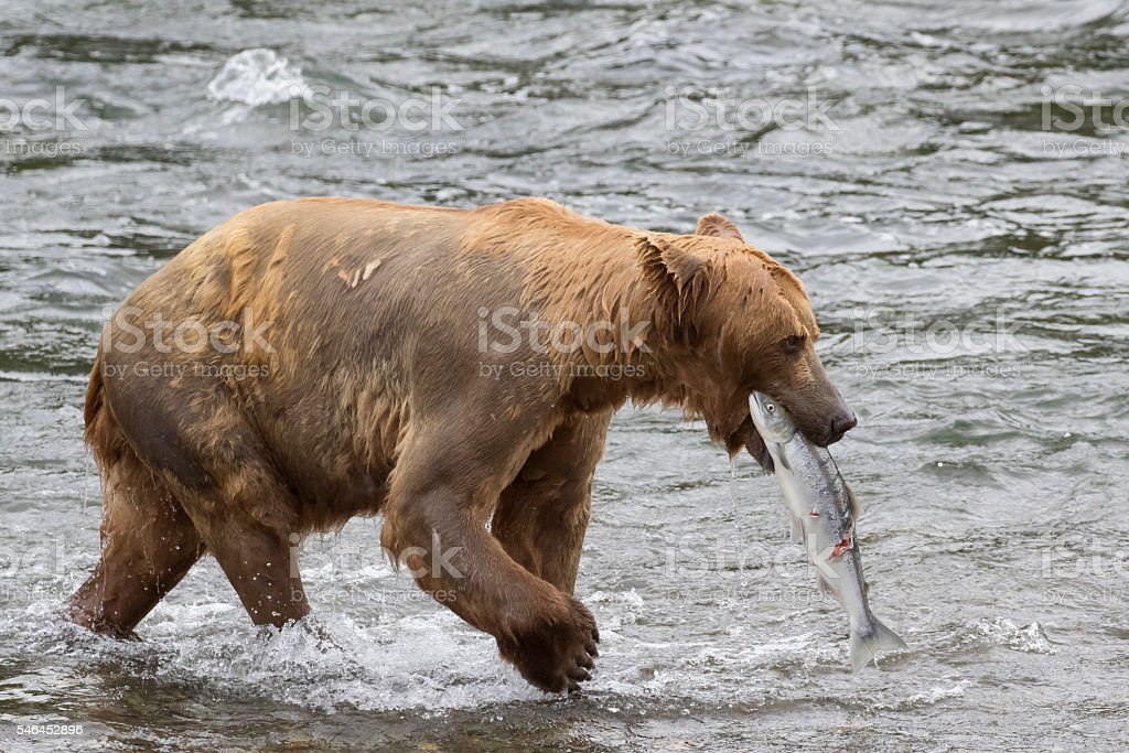 Grizzy (Brown Bear) carries off captured Sockeye Salmon stock photo