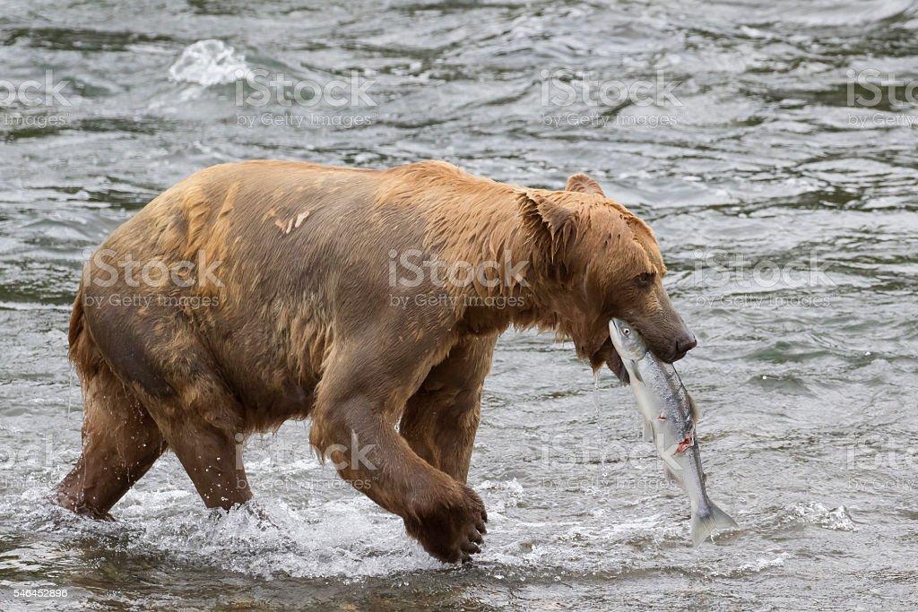 Grizzy (Brown Bear) carries off captured Sockeye Salmon stock photo