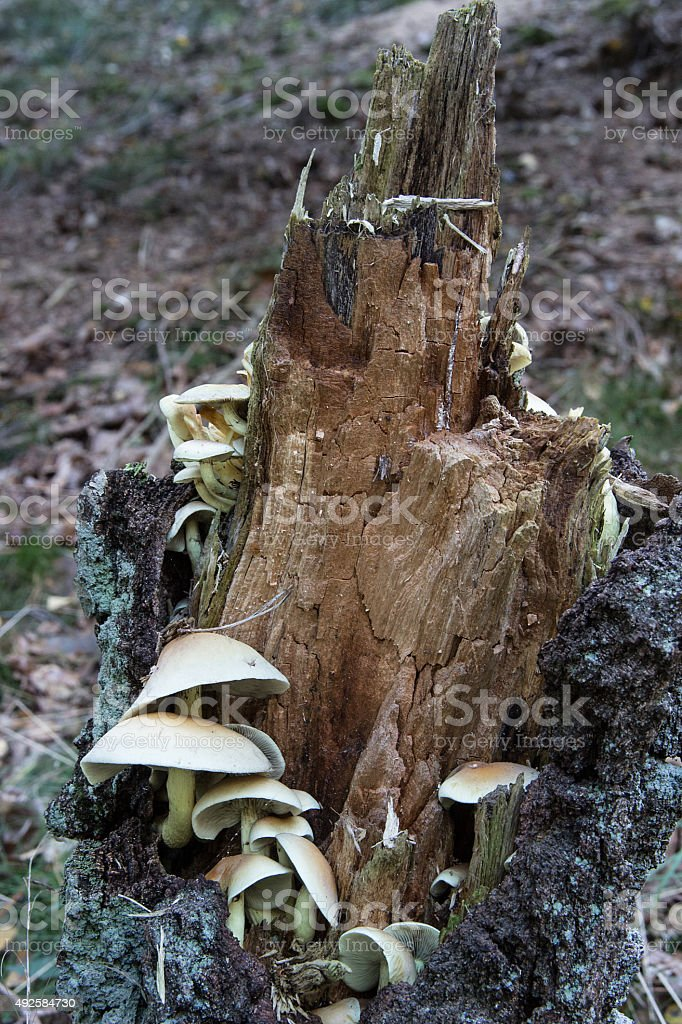 Grünblättrige Schwefelköpfe in einen Baumstumpf stock photo