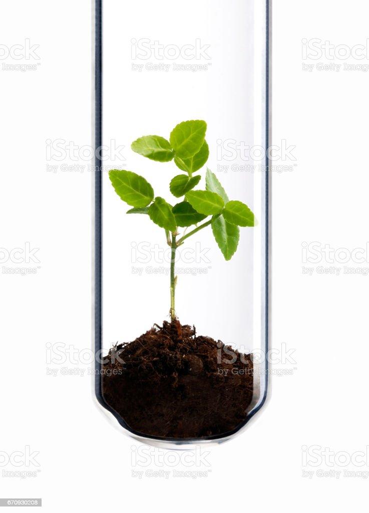 Grünpflanze im Reagenzglas stock photo