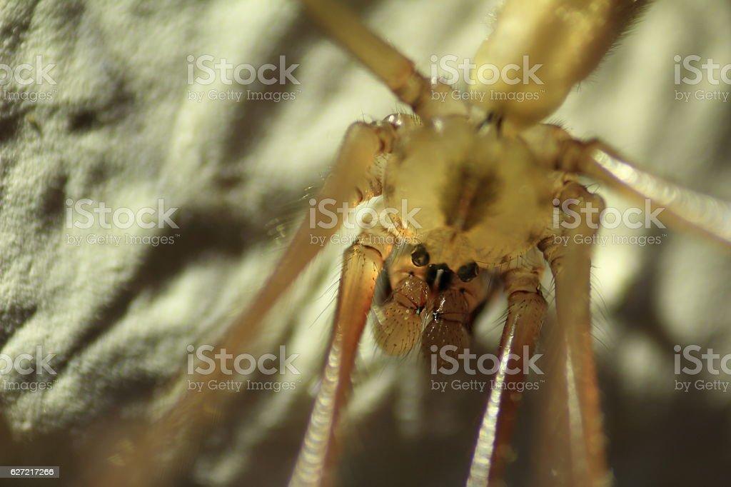 Große Zitterspinne, pholcus phalangioides stock photo