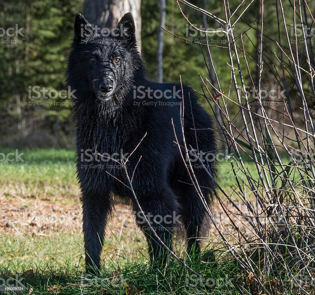 Groenendael dog stock photo