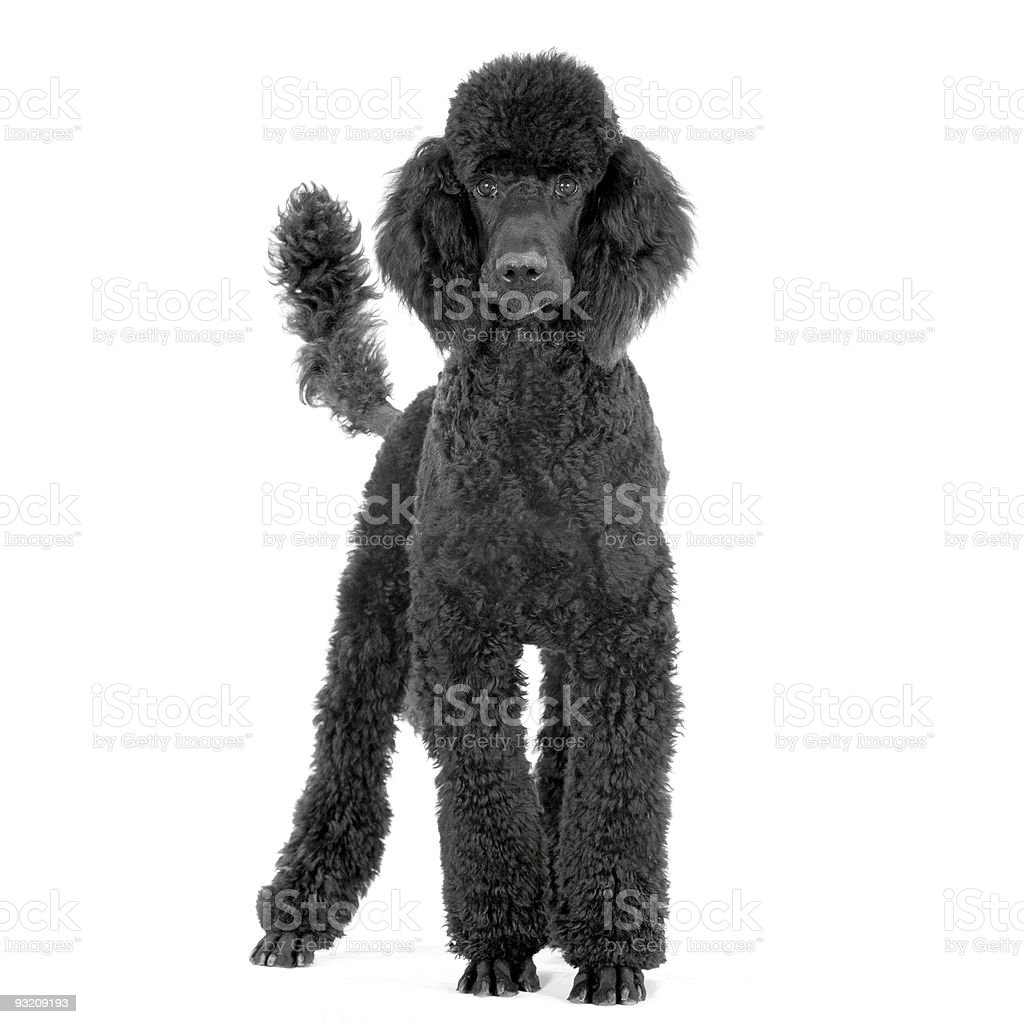 groomed black royal Poodle standing up in front stock photo