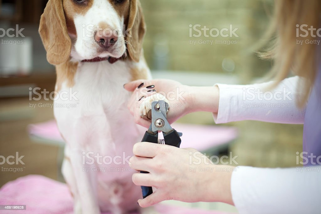 Groomer with a dog stock photo