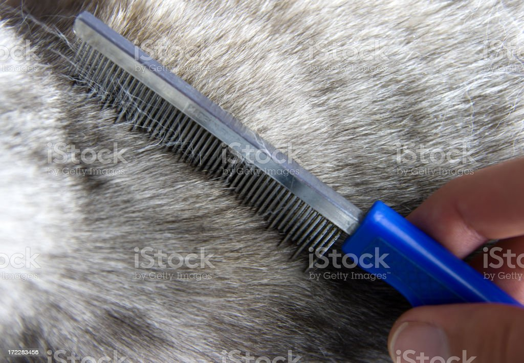 Grooming a cat royalty-free stock photo