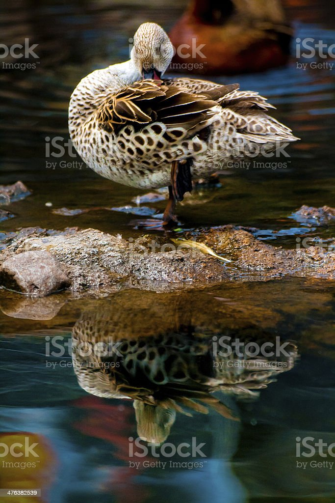 Grooming Duck On a Pond royalty-free stock photo
