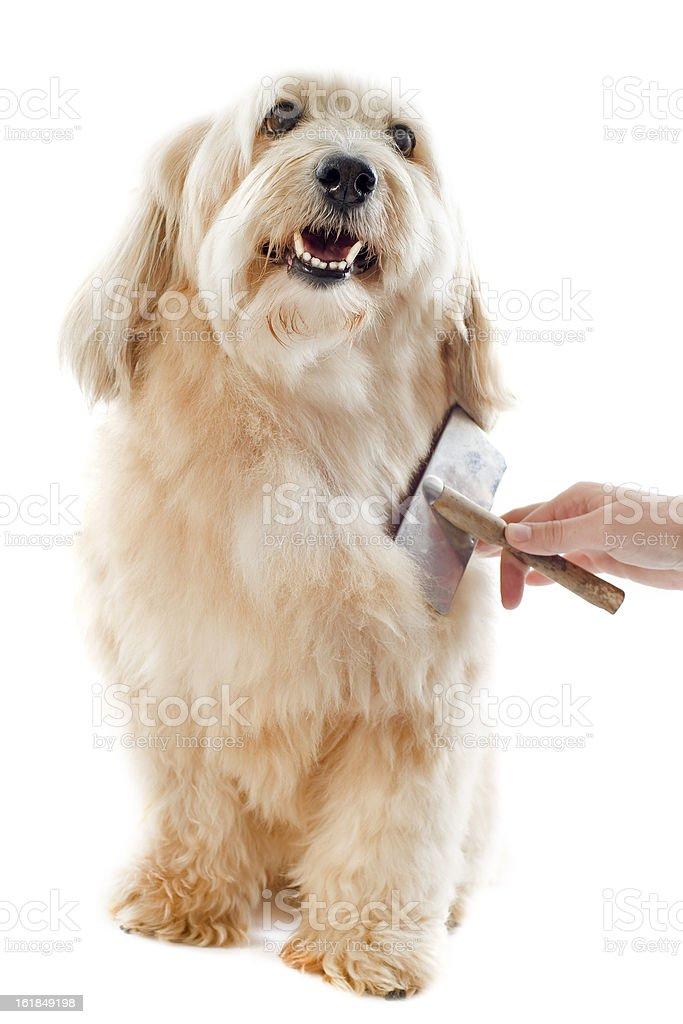 grooming griffon stock photo