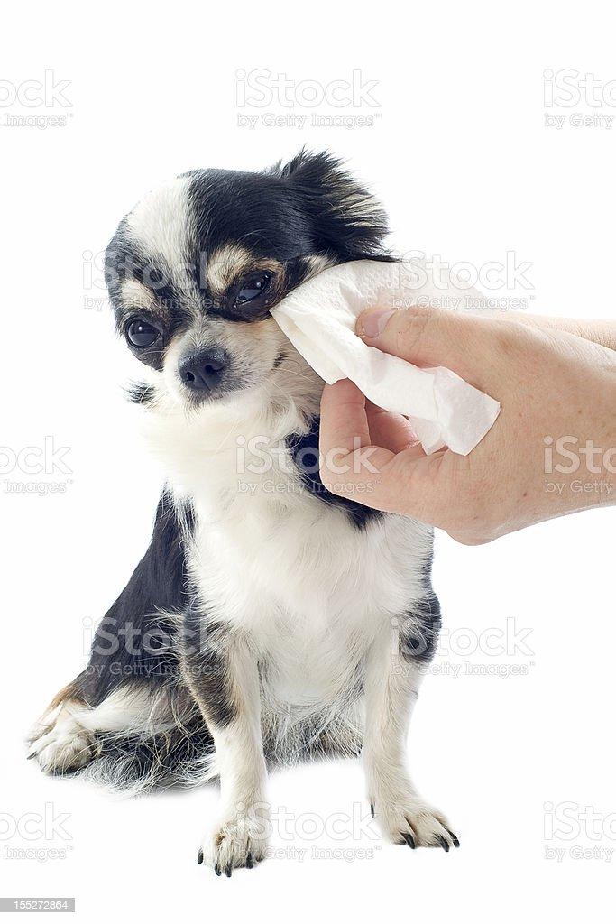 grooming of chihuahua stock photo