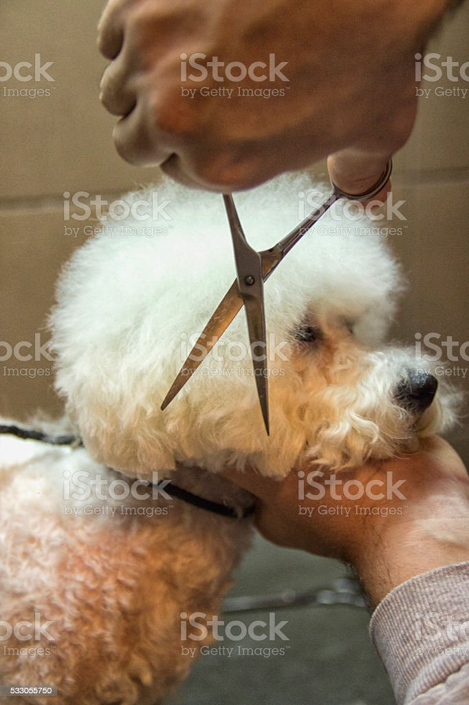 Grooming of the head of bichon frise stock photo