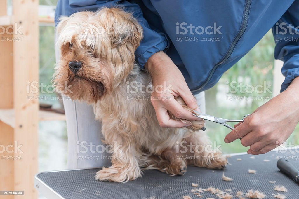 Grooming paws of Yorkshire terrie stock photo