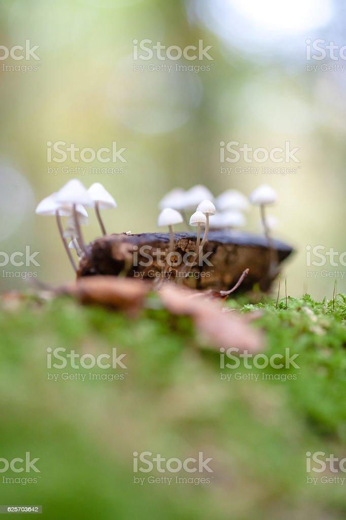 Grooved bonnet toadstool, mushroom. Mycena polygramma. Nature in stock photo