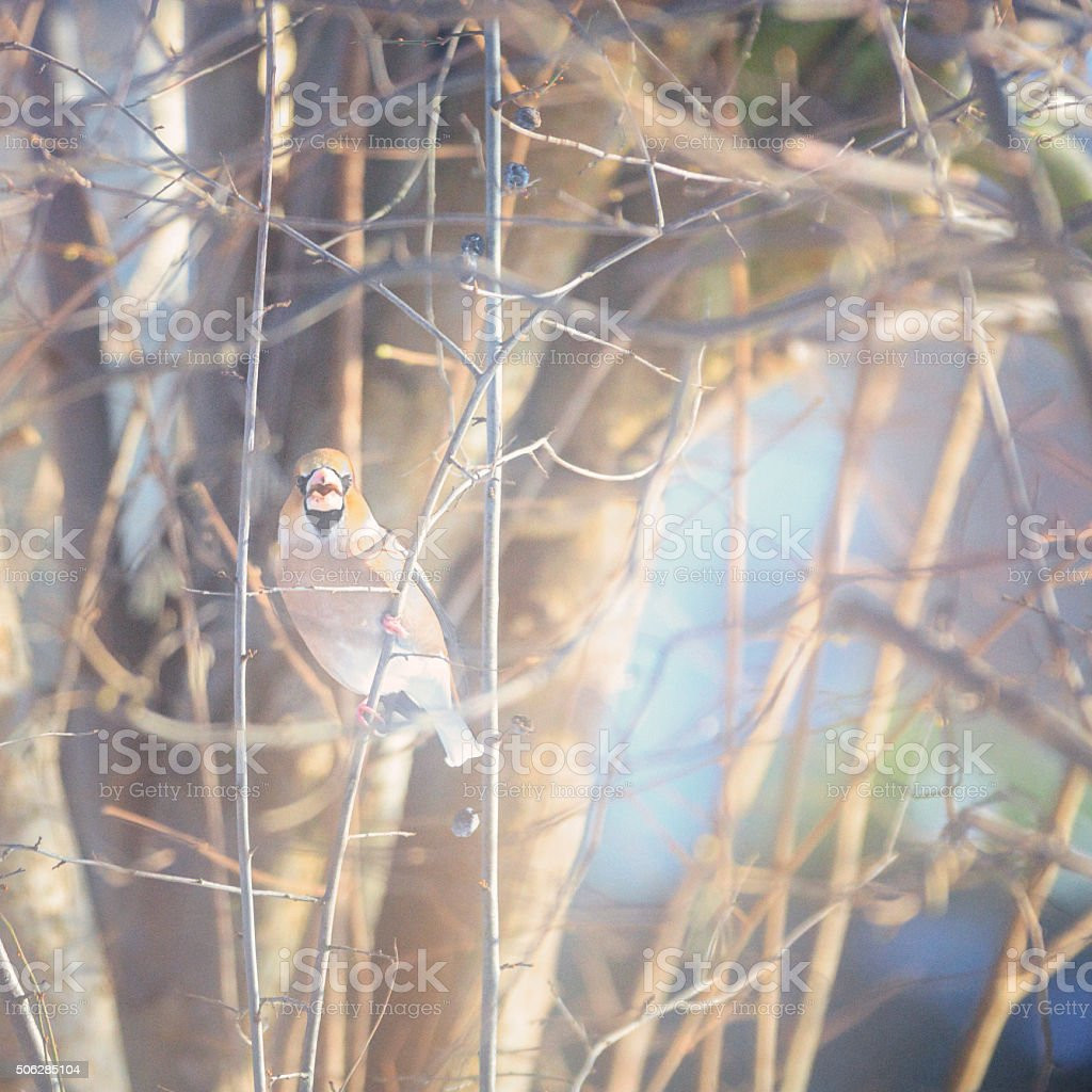 Grosbeak [Coccothraustes coccothraustes] in winter stock photo