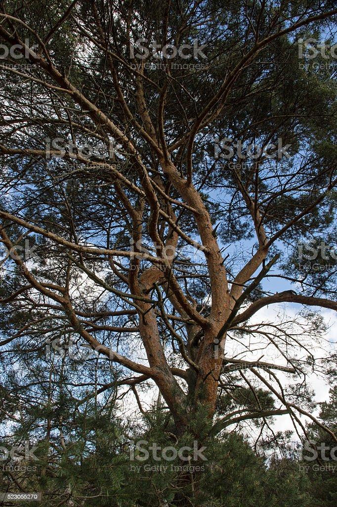 Grosse Pinie im Frühling - Large pine tree in spring stock photo