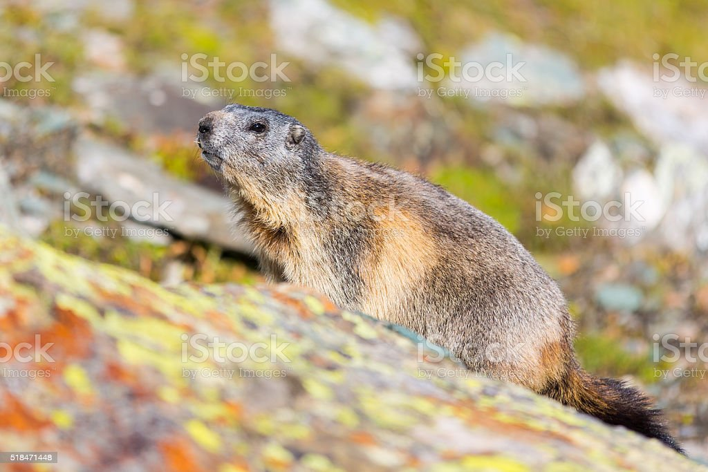 Grossglockner marmot stock photo
