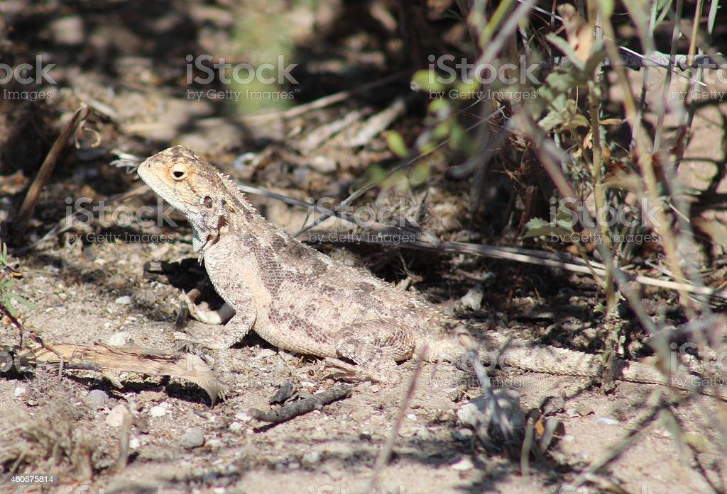 Ground agama basking in the Kalahari Desert sun stock photo