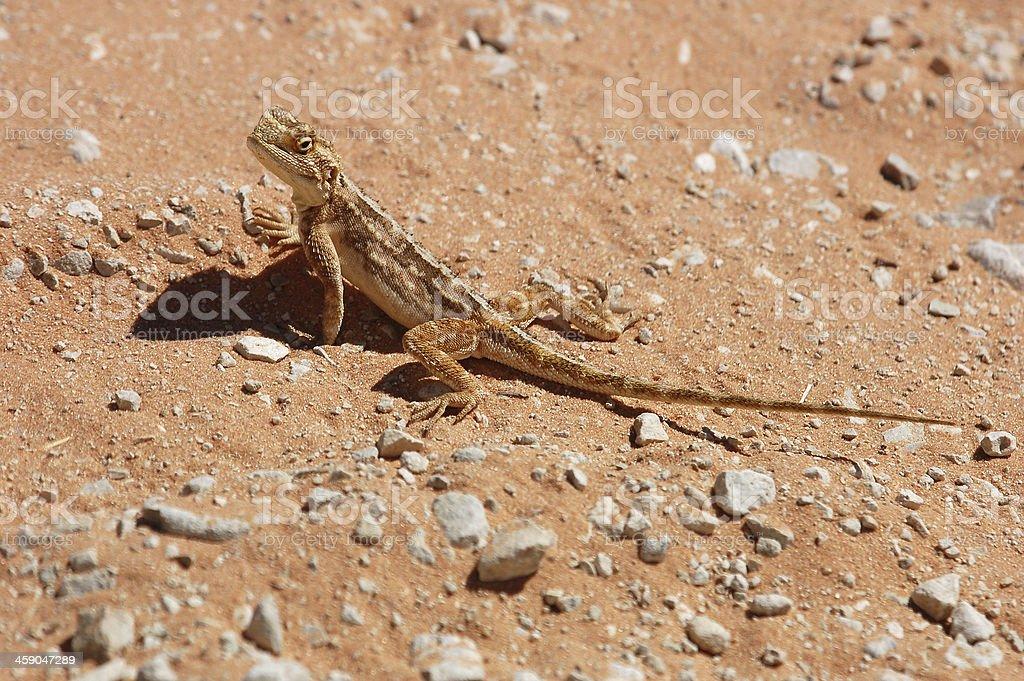 Ground Agama (Agama aculeata) stock photo