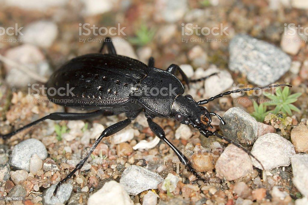 Ground beetle (Carabus hortensis) macro photo royalty-free stock photo