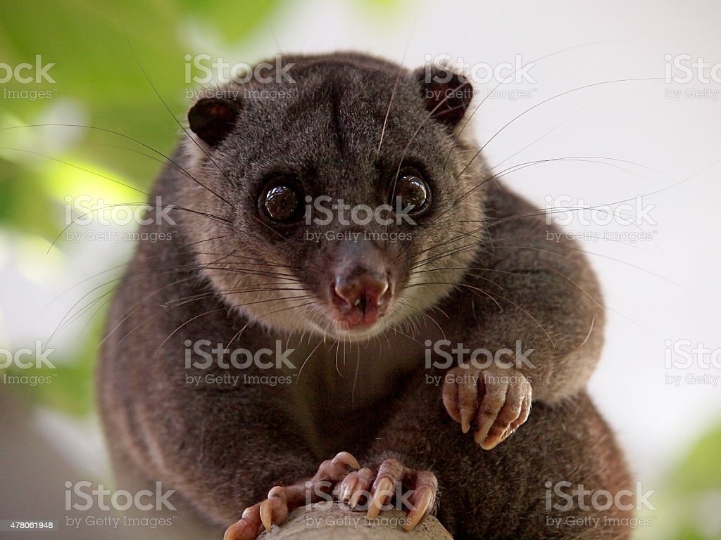 Ground cuscus stock photo