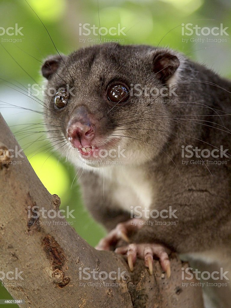 Ground cuscus royalty-free stock photo