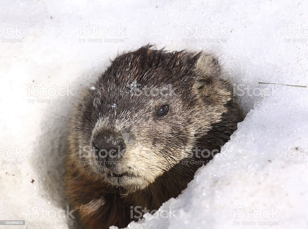 ground hog in a hole stock photo