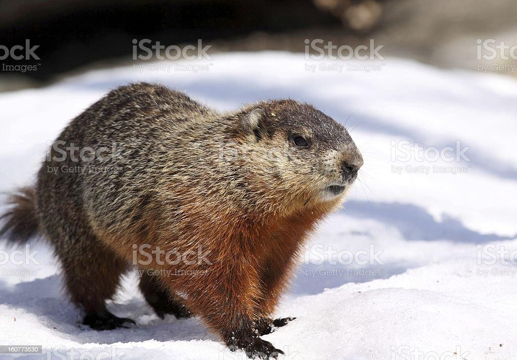 ground hog on snow royalty-free stock photo