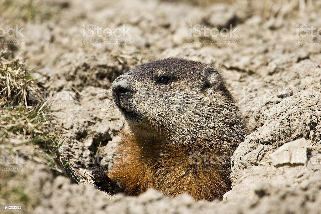 Ground Hog stock photo