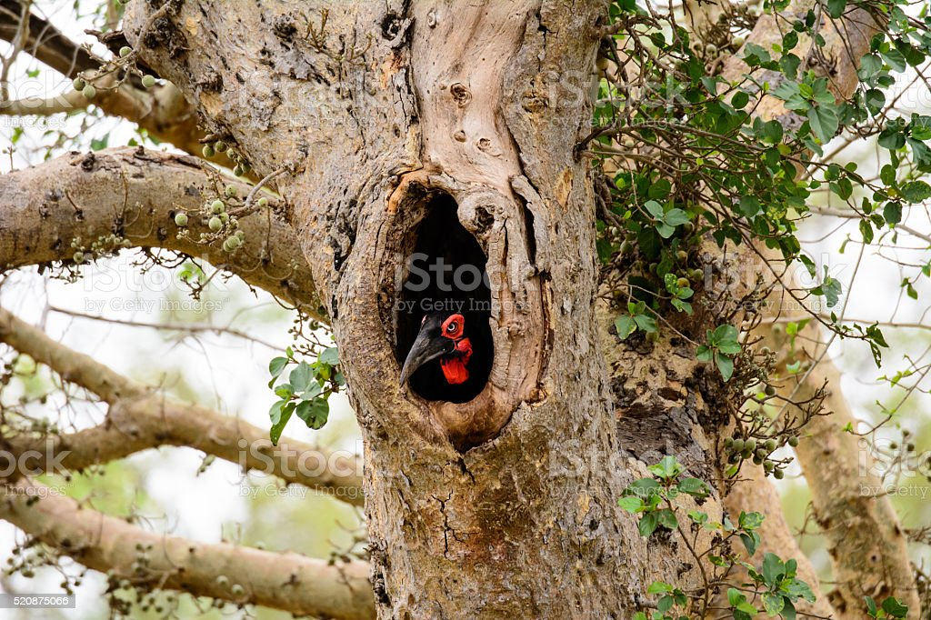 Ground Hornbill peeping out of its nest hole stock photo