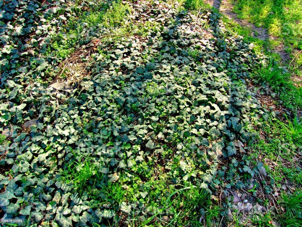 Ground ivy stock photo