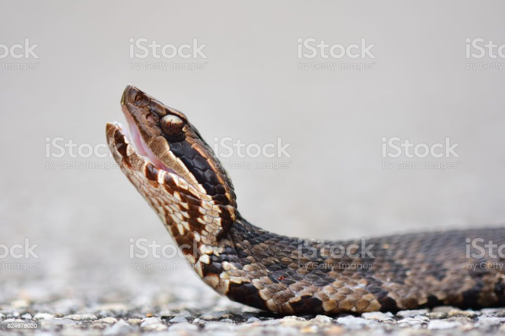 Ground level view of cautious water moccasin initiating threat display stock photo