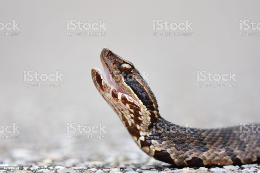Ground level view of water moccasin head during threat display stock photo