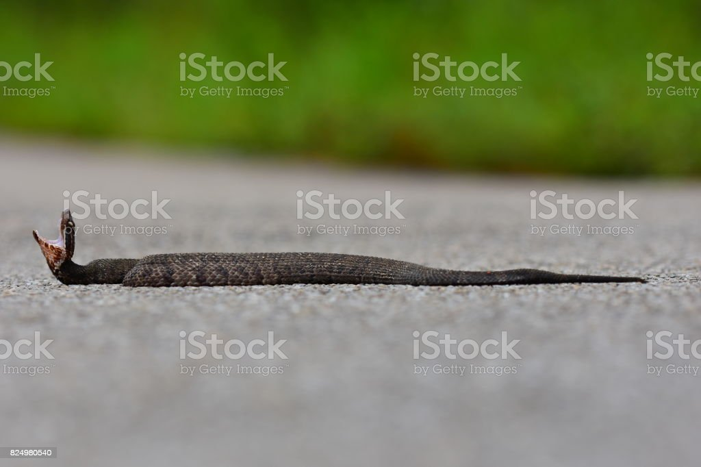 Ground level view of water moccasin warning to stay away stock photo