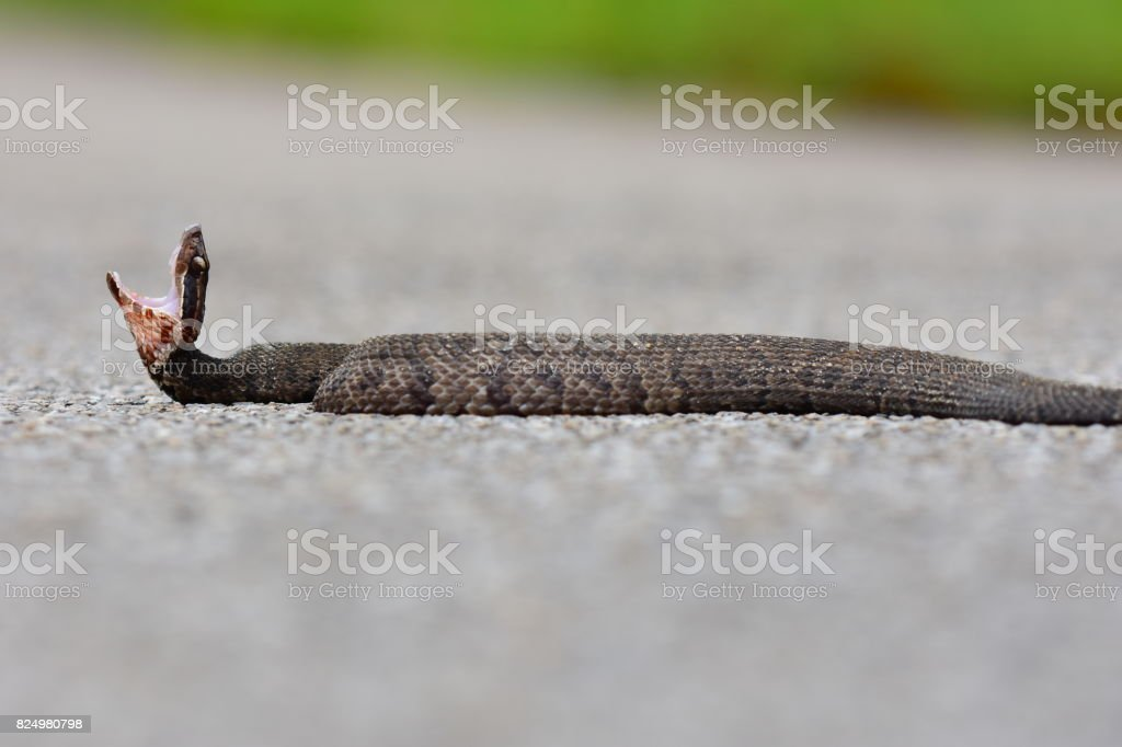 Ground level view of water moccasin with threat display stock photo