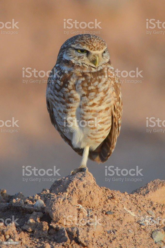 Ground Owl stock photo