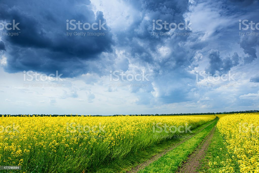 Ground road in yellow rapeseed flower field stock photo