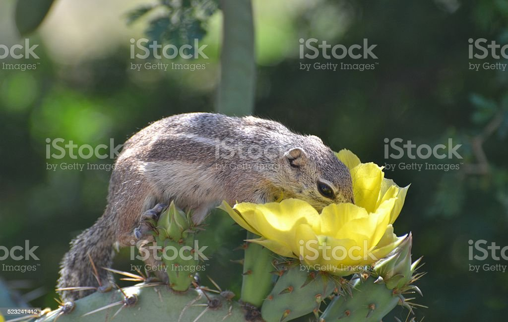 Ground Squirrel at Lunch stock photo