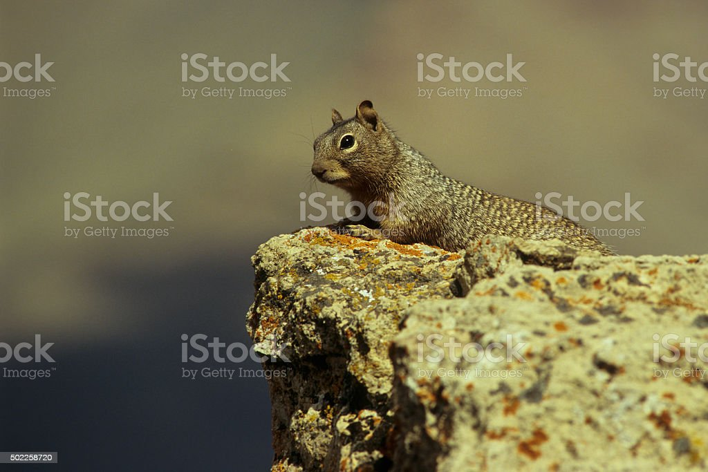 Ground Squirrel at the Grand Canyon stock photo