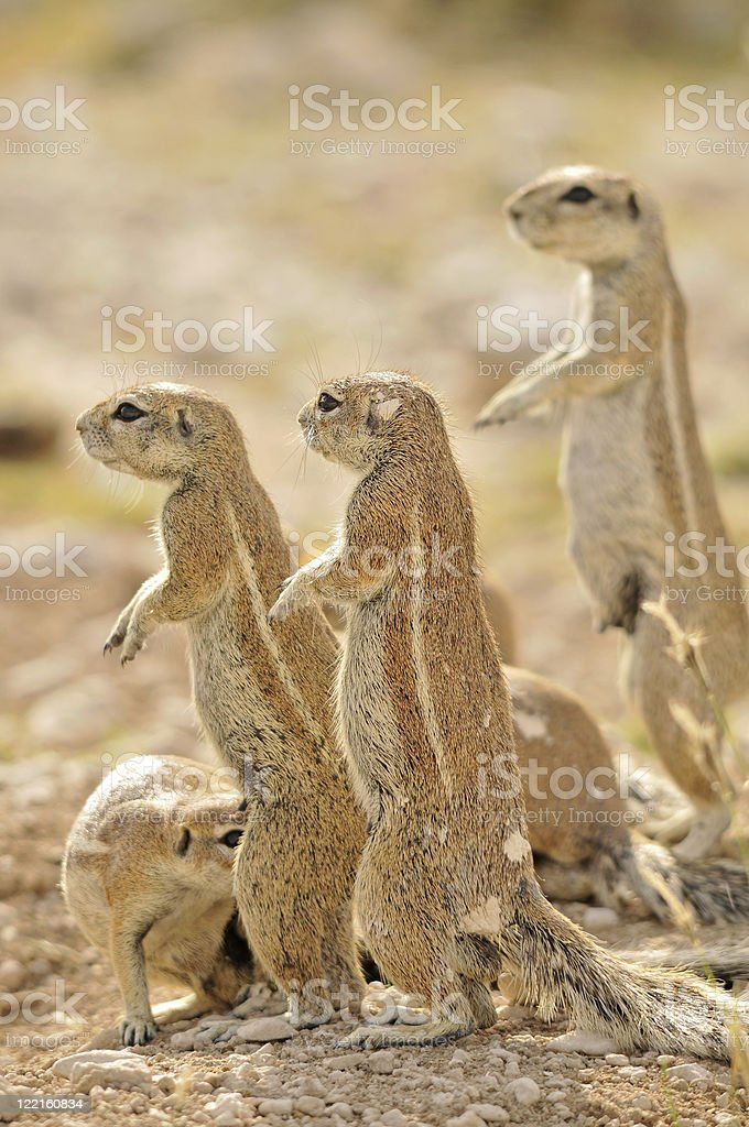 Ground squirrel family stock photo