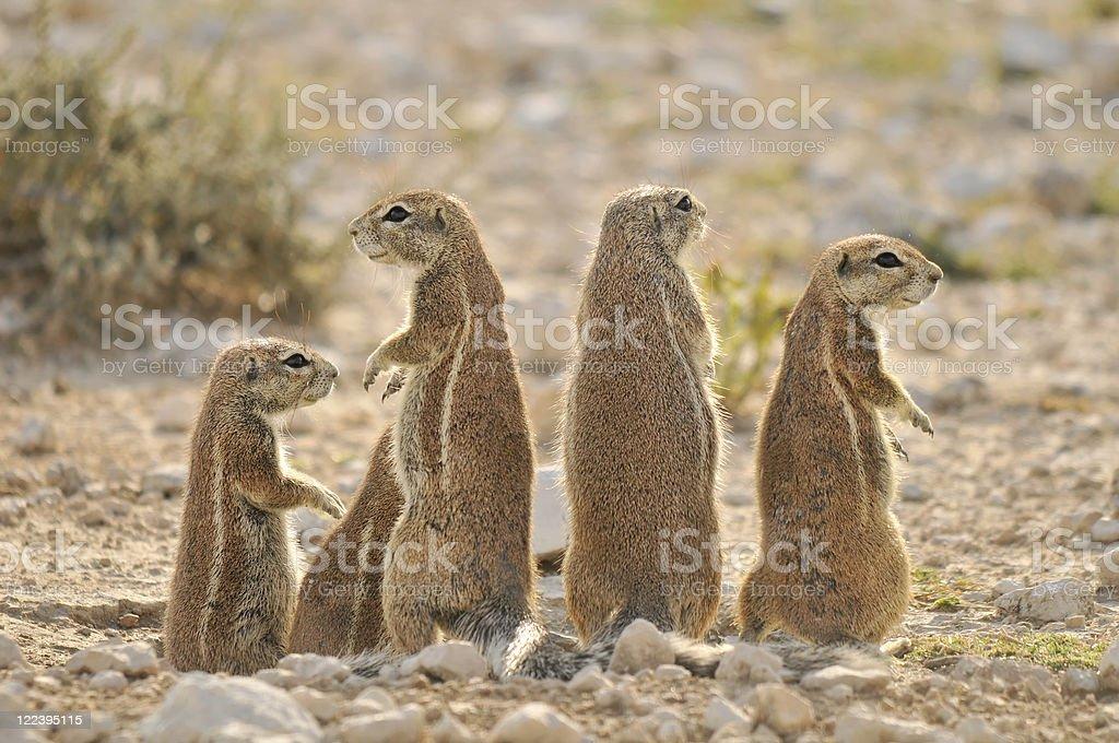 Ground squirrel family stock photo