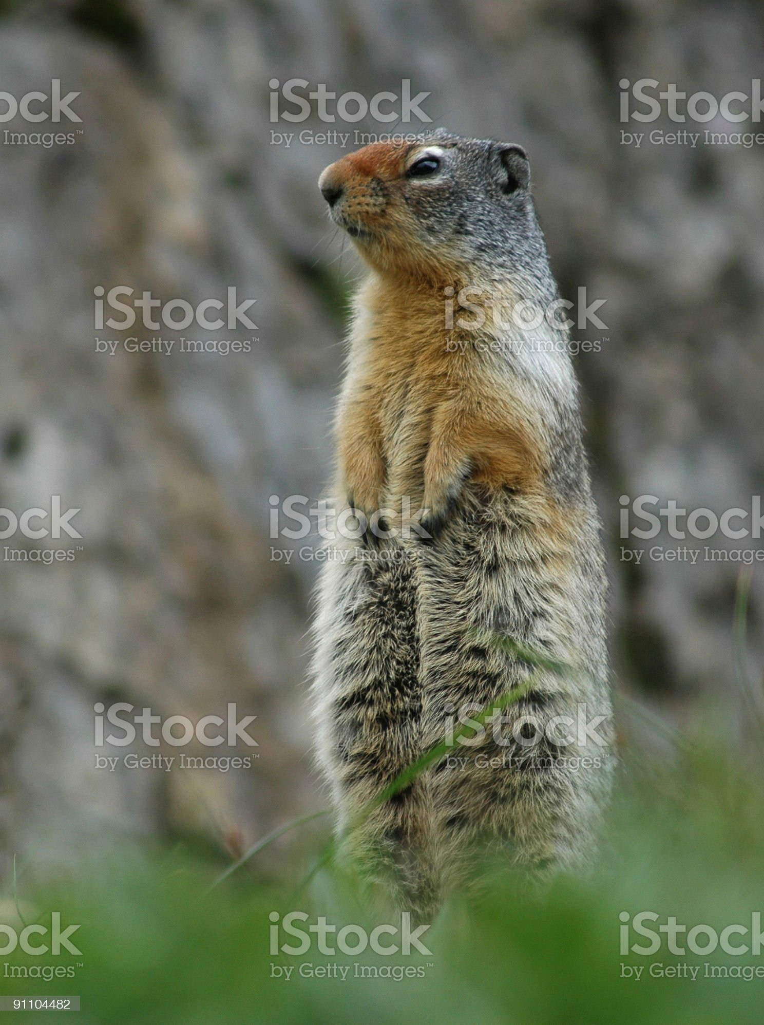 Ground Squirrel Glacier National Park royalty-free stock photo