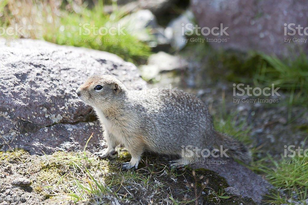 Ground squirrel royalty-free stock photo
