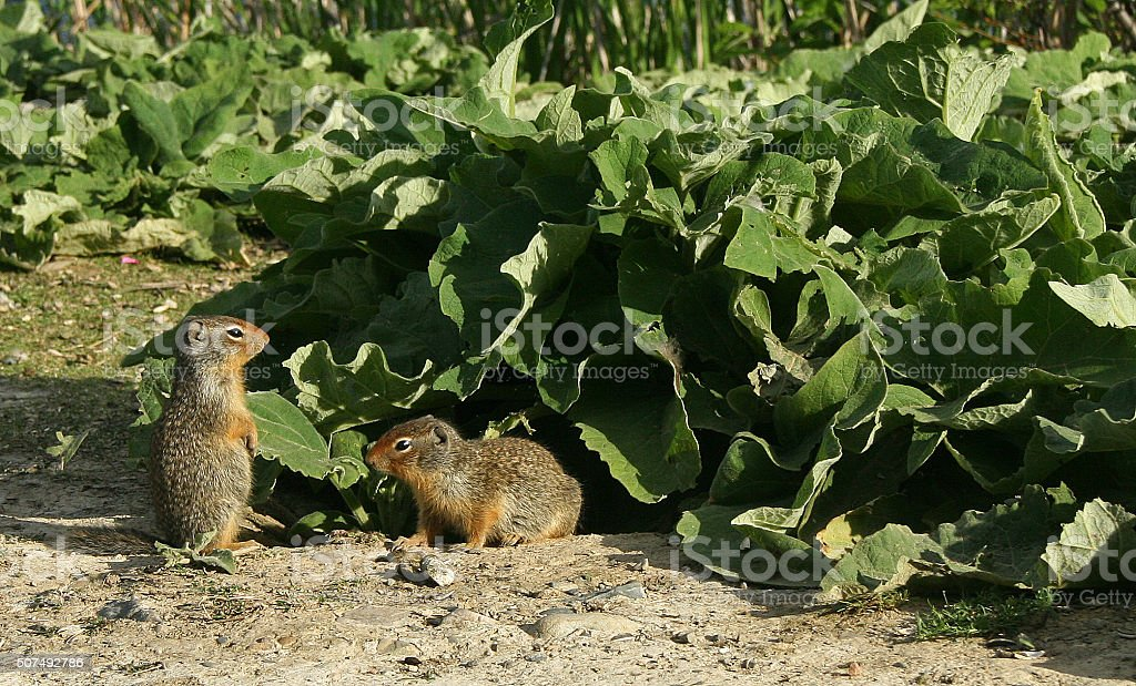 Ground Squirrels at Elizabeth Lake stock photo
