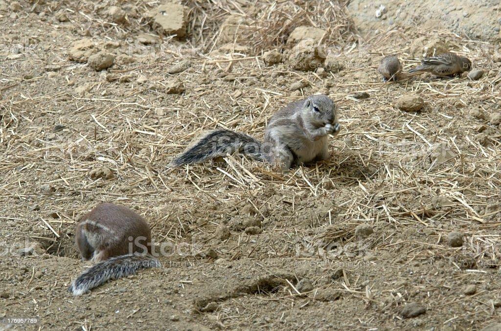 ground squirrels stock photo