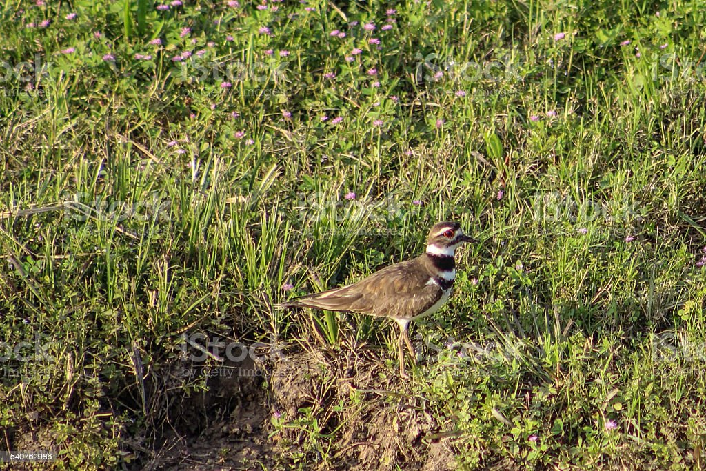 Grounded killdeer with pink wildflowers stock photo
