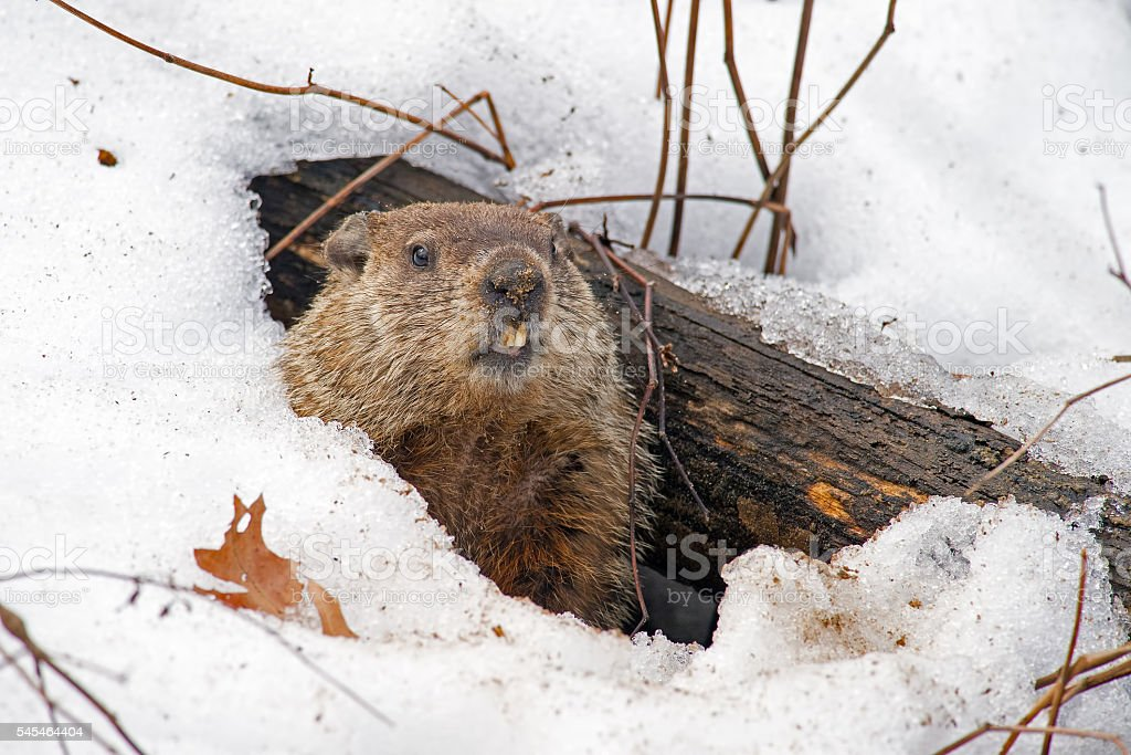 Groundhog Emerging from Snowy Den stock photo
