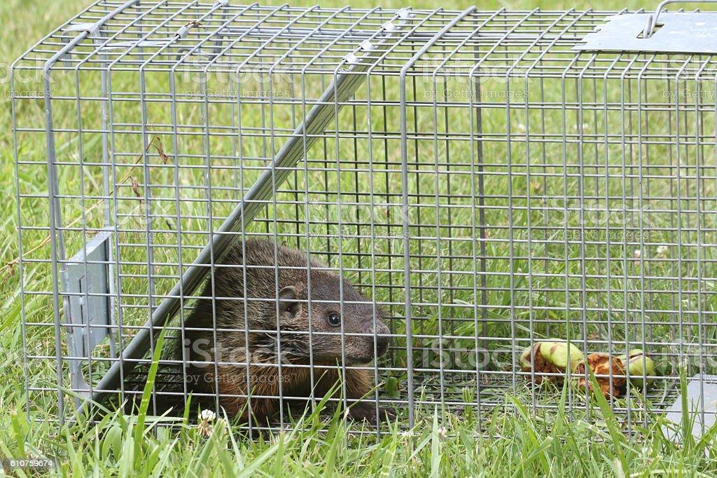 Groundhog (Marmota monax) in a trap stock photo