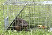 Groundhog (Marmota monax) in a trap