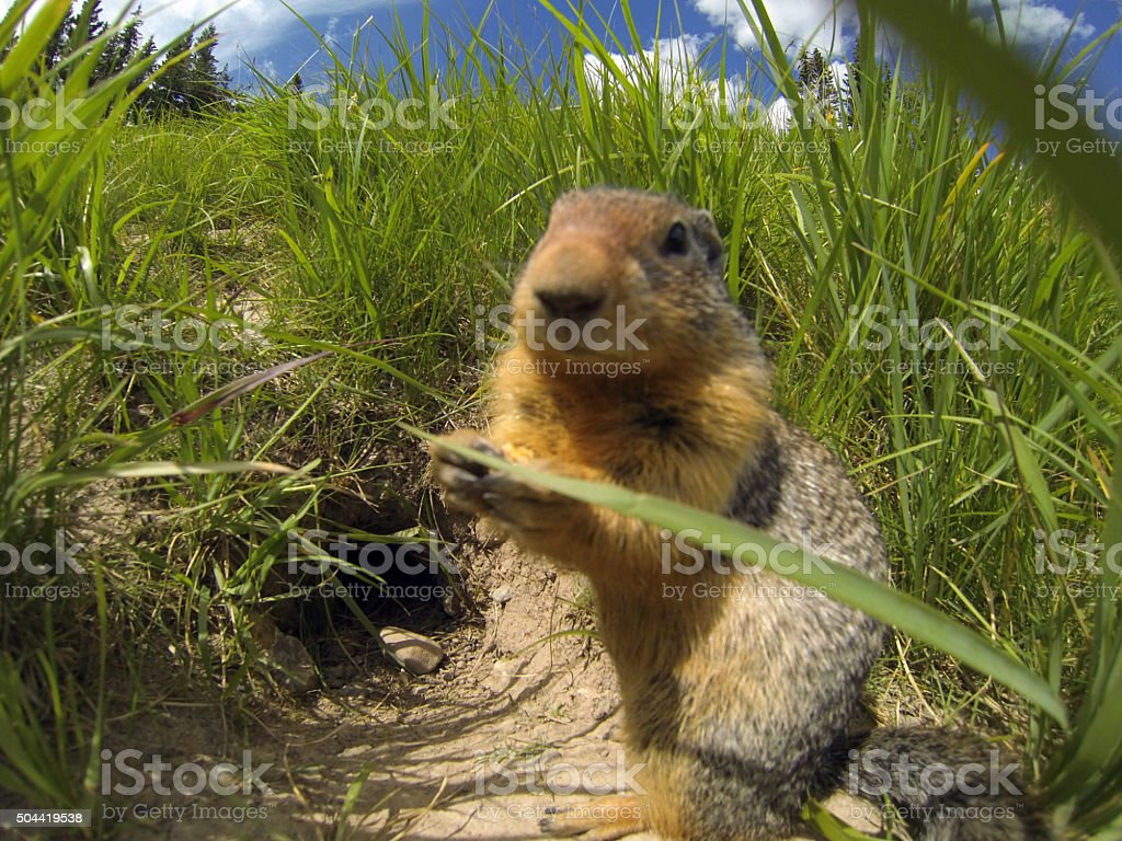 Groundhog in front of a burrow stock photo