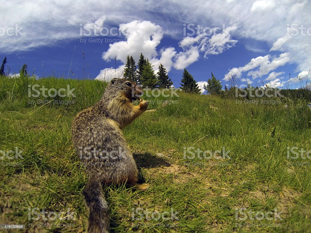Groundhog in grass stock photo