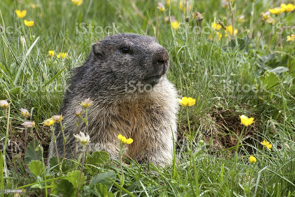 Groundhog on a meadow stock photo